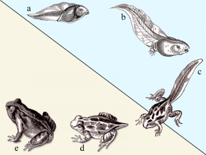 """The image """"Tadpole to frog"""" comes from Meyers Konversations-Lexikon 1890."""